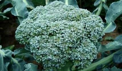 Как вырастить брокколи в открытом грунте