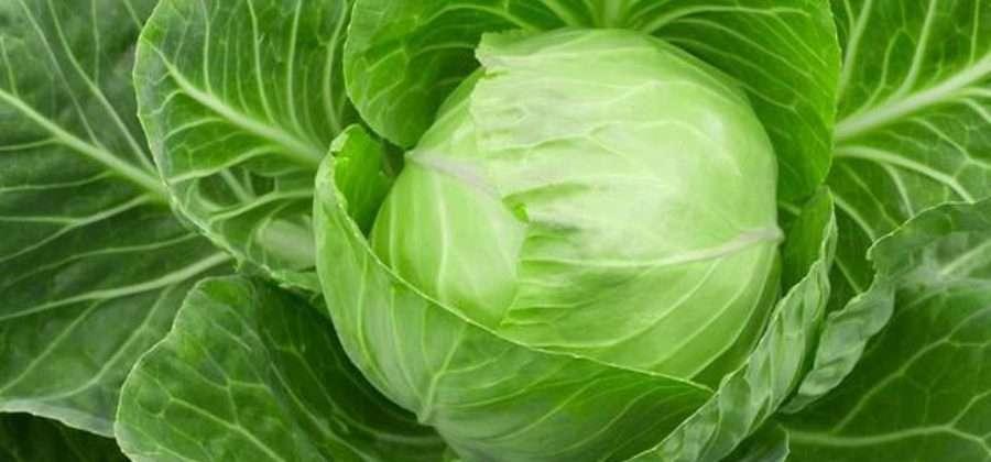 Как вырастить капусту в открытом грунте