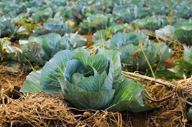 Выращивание капусты в соломе