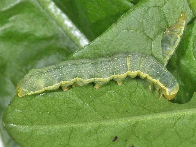 гусеницы совки огородной