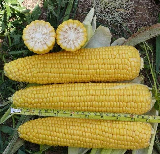 кукуруза Леженд