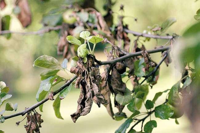 монилиоз на плодовых деревьях