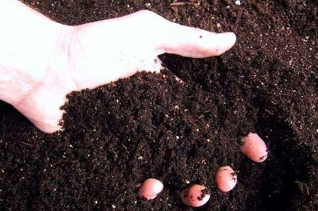 перегной для удобрения картофеля