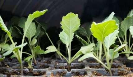Как вырастить рассаду цветной капусты