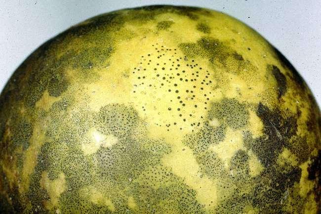 сажистый грибок на плодах