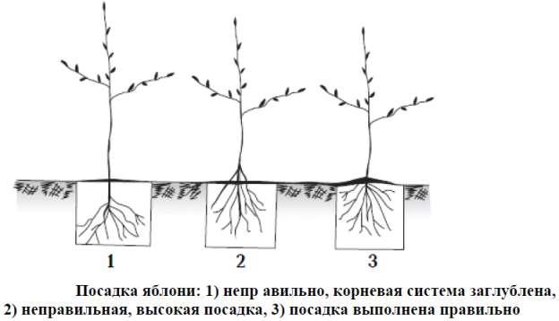 Как посадить саженец яблони