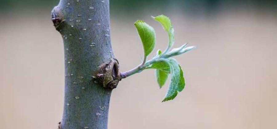 Как правильно посадить саженец яблони