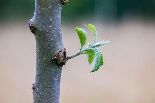 Как правильно посадить яблоню, в том числе когда лучше это делать, а также как ухаживать после посадки