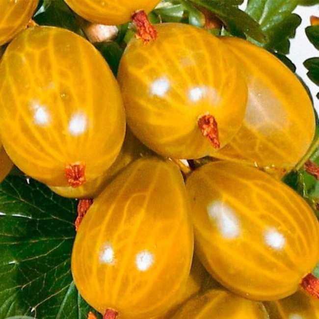 Крыжовник Янтарный описание ягод