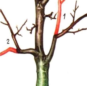 Обрезка яблони на боковое ответвление