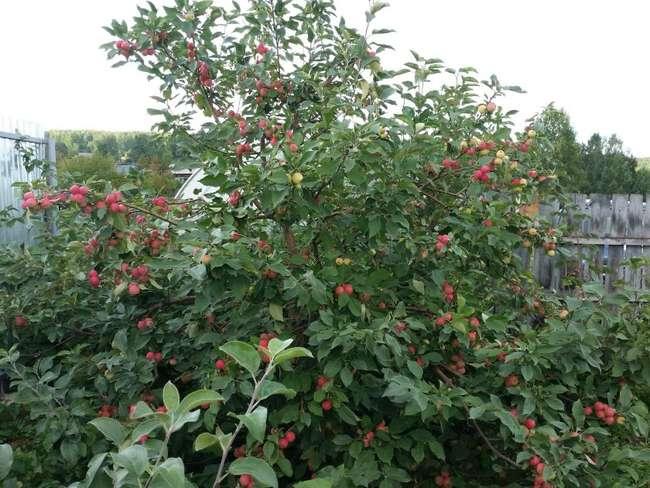 Описание сорта яблони Серебрянное копытце