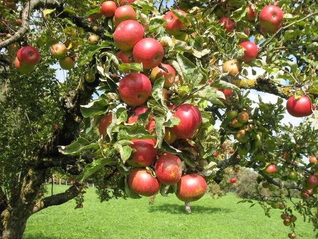 Описание сорта яблони Штрейфлинг