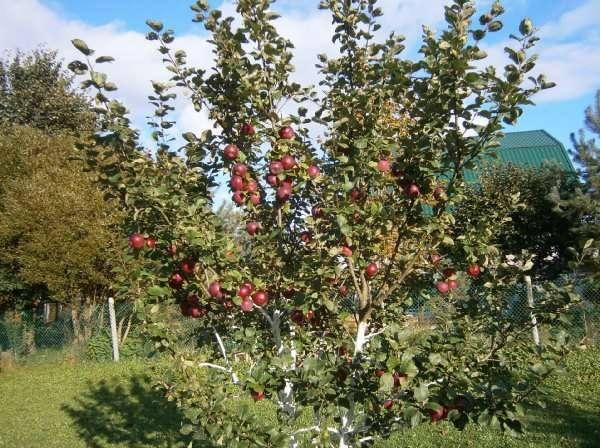 Описание яблони Орлик