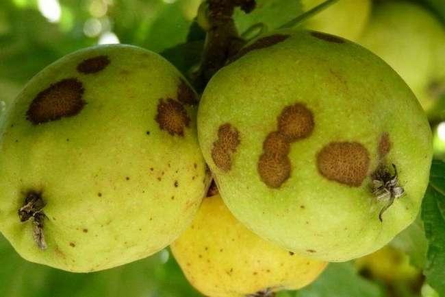 Парша на плодах яблони