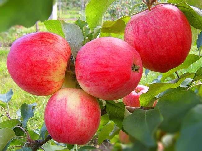 Плоды сорта яблони Уэлси