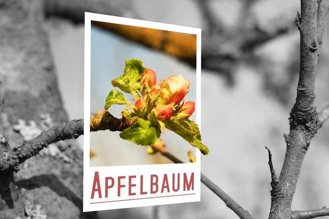 Почему яблоня Штрейфлинг не цветет