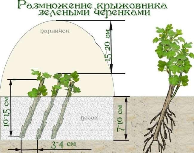 Размножение крыжовника зелеными черенками