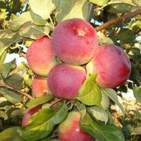 Посадка яблони Орлик и уход за плодовым деревом этого сорта