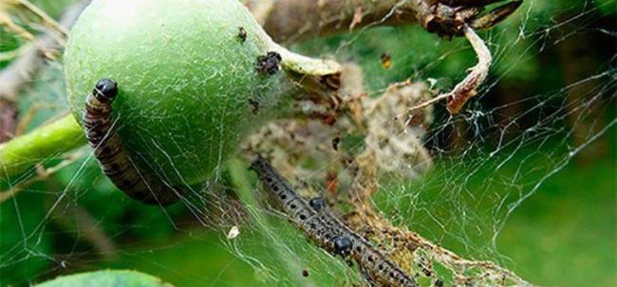 Вредители яблони и борьба с ними: фото с описанием