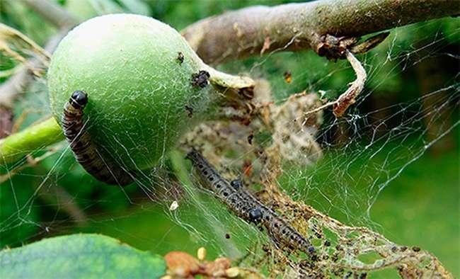 Вредители на яблоне