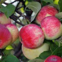 Выращивание яблони сорта Серебряное копытце