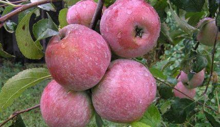 Сорт яблони Уэлси: описание, фото, отзывы садоводов
