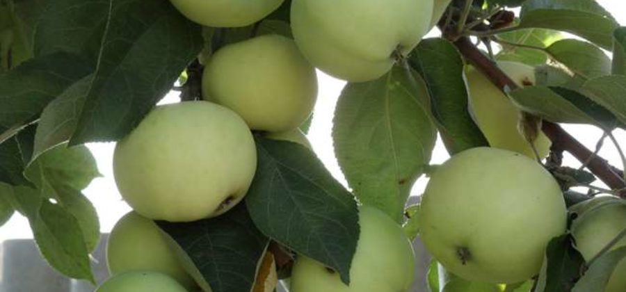Яблоня Папировка: описание сорта, фото, отзывы