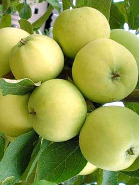 отзывы на сорт яблони папировка