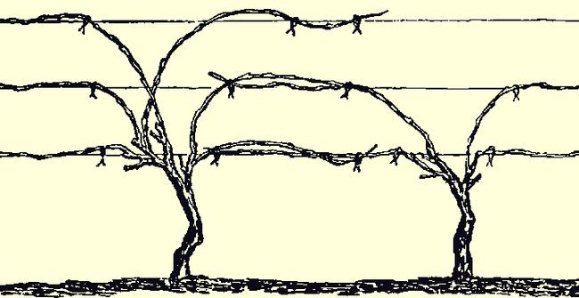 Формирование лозы на шпалере по схеме Гюйо