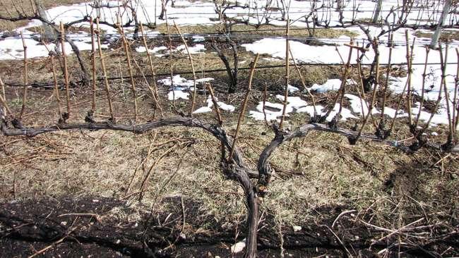 Формирование винограда в средней полосе