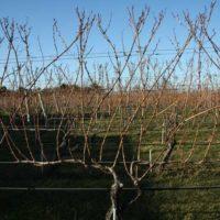 Как формировать виноградную лозу