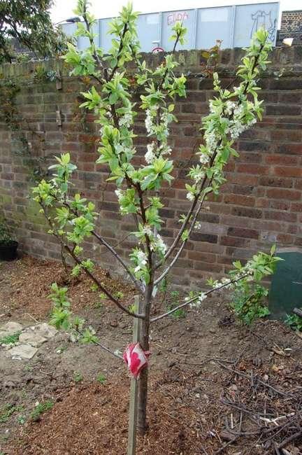 Гибрид сливы абрикоса и персика