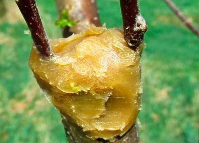 Использование садового вара при прививке деревьев