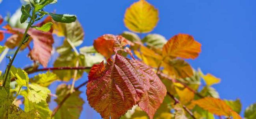 Как сажать малину осенью: пошаговая инструкция
