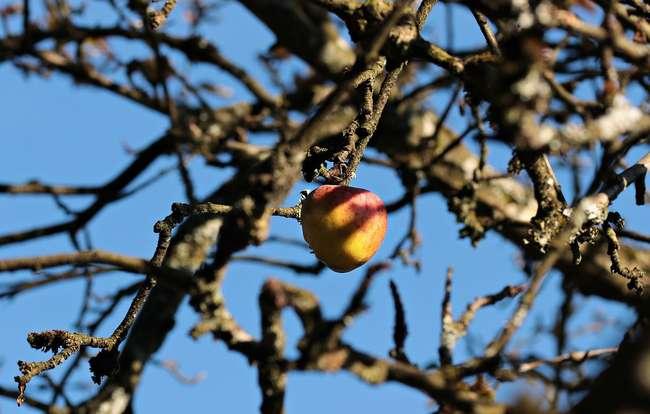 Как ухаживать за яблоней осенью