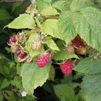 Как правильно посадить ремонтантную малину – Осенью или весной