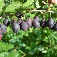 Безшипный крыжовник сорта Грушенька: посадка, уход и размножение сорта