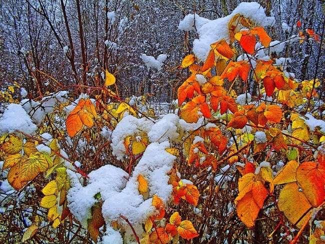Осенний куст малины