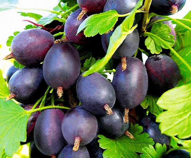 Плоды сорта крыжовника грушенька