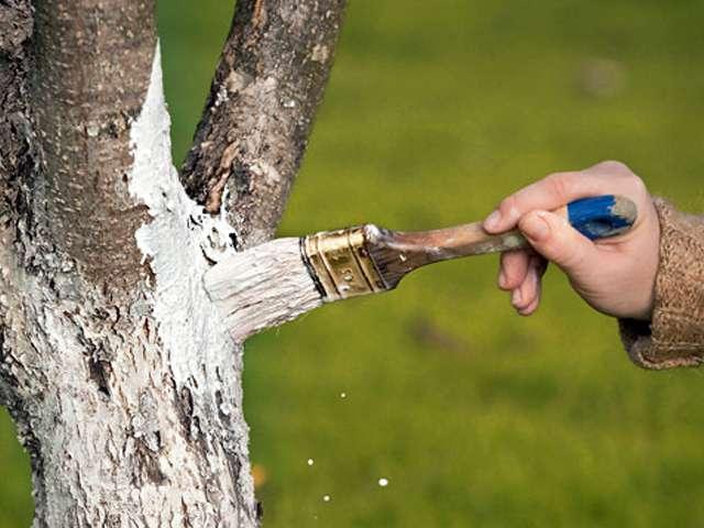 Побелка ствола яблони осенью