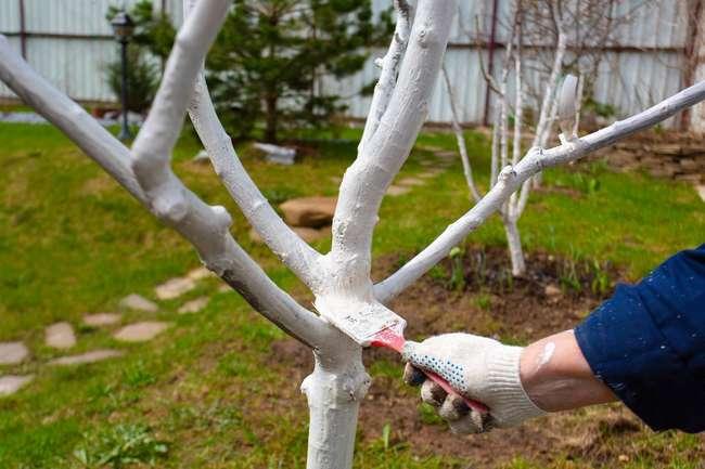 Уход за яблоней весной: Побелка яблони после зимы