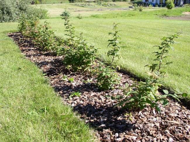 Приемущества и недостатки осенних и весенних посадок малины