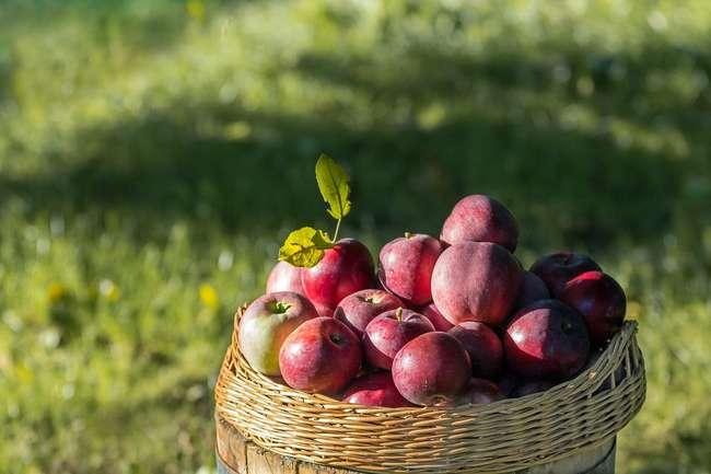 Сбор яблок в сентябре