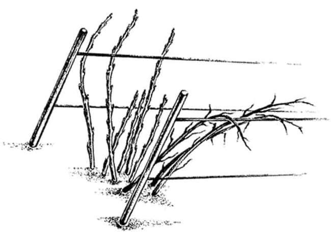 Шпалерная обрезка крыжовника
