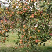 Как ухаживать за яблоней осенью – Подготовка яблони к зиме