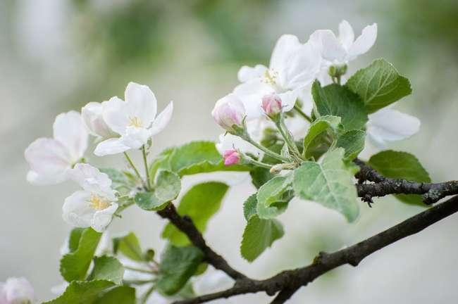 Уход за яблоней весной в мае