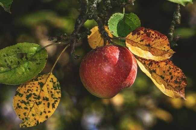 Уход за яблоней в осенний сезон