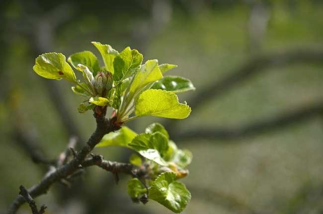 Уход за яблоней весной