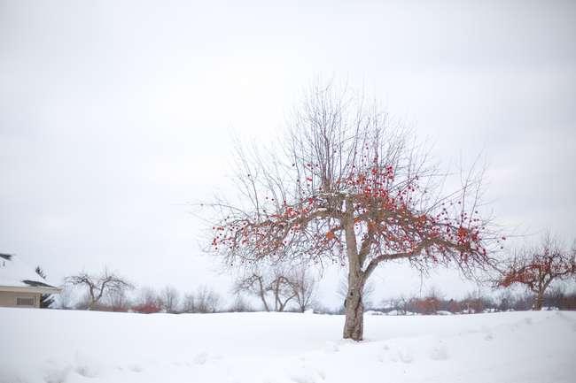 Уход за яблоней зимой