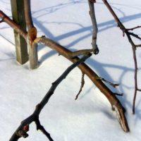 Как ухаживать за яблонями зимой
